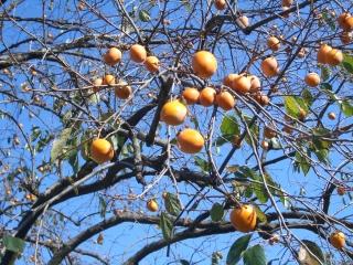 図書館の柿の木