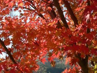 オレンジの紅葉