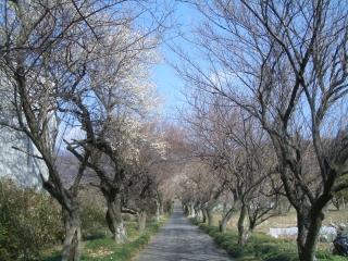 香雲寺の梅