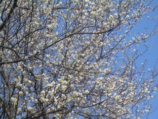 開花した梅