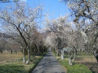 香雲寺の参道の梅