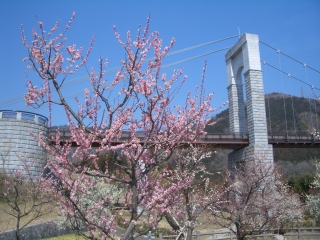 戸川公園の梅