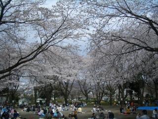 秦野市立中央運動公園の桜
