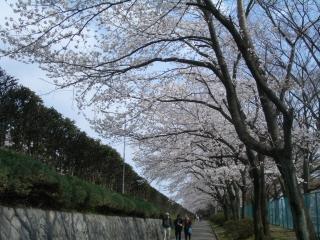 陸上競技場周りの桜