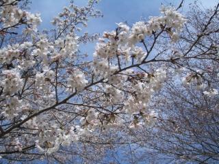 震生湖の桜アップ