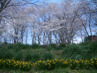 震生湖の桜と水仙