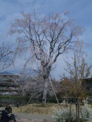 今泉名水桜公園のベニシダレ桜