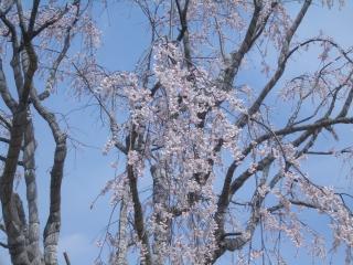 今泉名水桜公園のベニシダレ桜アップ