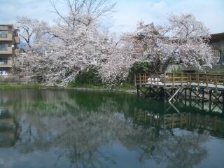 今泉名水桜公園のソメイヨシノ