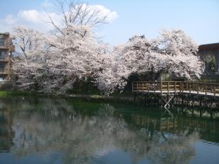 今泉名水桜公園の桜