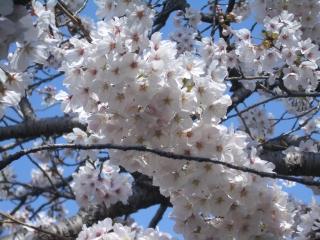 今泉名水桜公園の桜アップ
