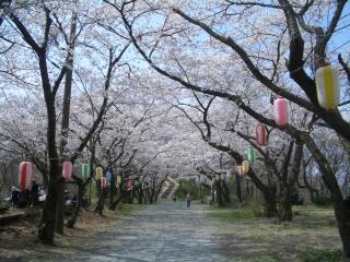 弘法山公園の馬場道の桜