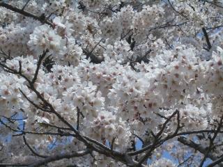 権現山の桜アップ