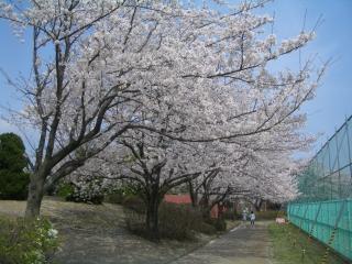 南が丘公園の桜