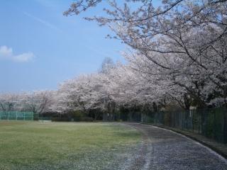 野球用グランドの桜アップ