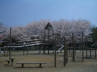 アスレチック広場の桜