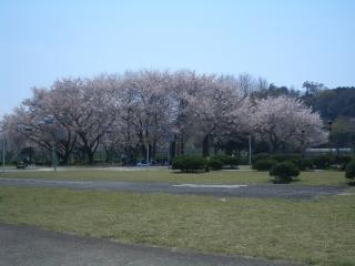 秦野市交通公園の桜