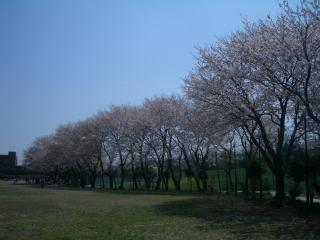 なでしこ運動広場の桜