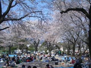 中央運動公園の桜