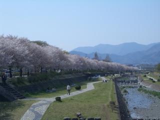 水無川沿いの桜並木