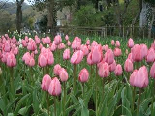 泉蔵寺のチューリップ(ピンク)
